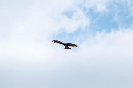 white tailed: White tailed sea eagle at Enoshima Island - Japan Stock Photo