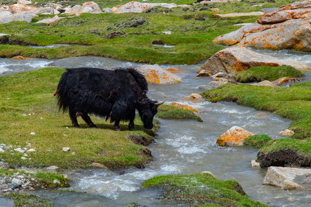 Flock of yaks around the valley near Pangong lake in Ladakh, India Stock Photo