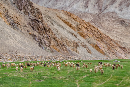 Flock of Pashmina in Ladakh, India.
