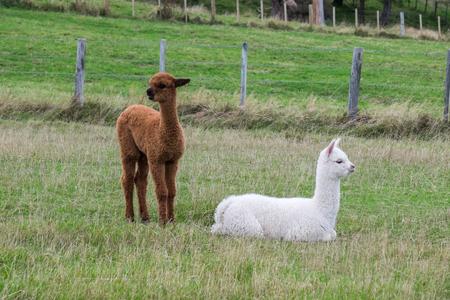 Alpaca, New Zealand Stock Photo