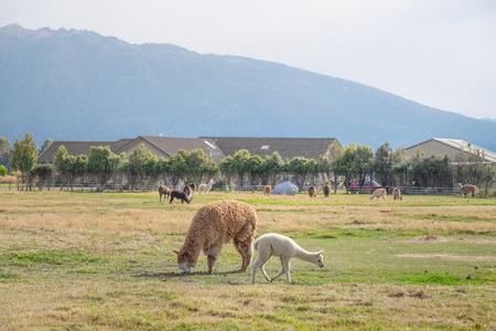 Alpacas, New Zealand