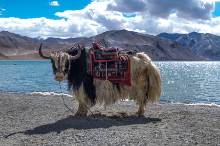 Yak at Pangong Lake in Ladakh, India Фото со стока - 83539959