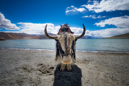Yak at Pangong Lake in Ladakh, India