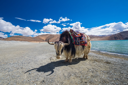 Yak at Pangong Lake in Ladakh, India
