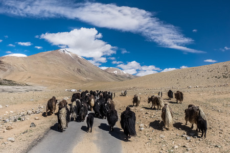 Flock of yak along the road to Tso Moriri Lake in Ladakh, India Stock Photo