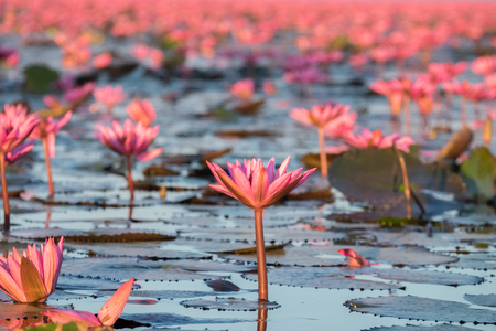 Red lotus sea is the most famous attraction of Udonthani, located province in northeast region of Thailand. Stock Photo