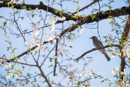 A bird in a cherry blossom tree in Takayama, Japan