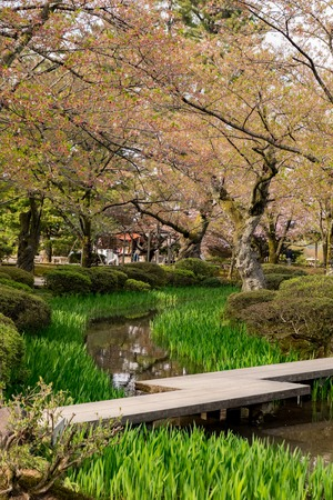 Full bloom cherry blossom in Kenrokuen Garden, one of Japans three most beautiful landscape gardens locate in Kanazawa, Japan