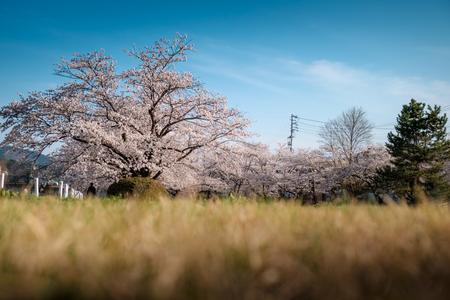 Full bloom cherry blossom in Takayama, Japan