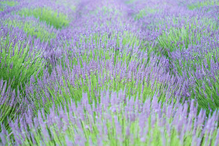 The close-up shot of lavender field in the sunny day, located in Yorkshire, UK