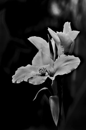 Tiger lily in black and white Imagens