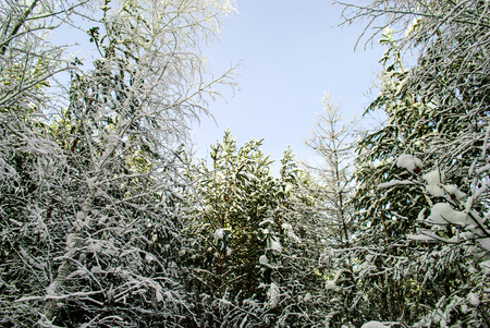 wrapped up: the Siberian wood which is wrapped up with fluffy snow