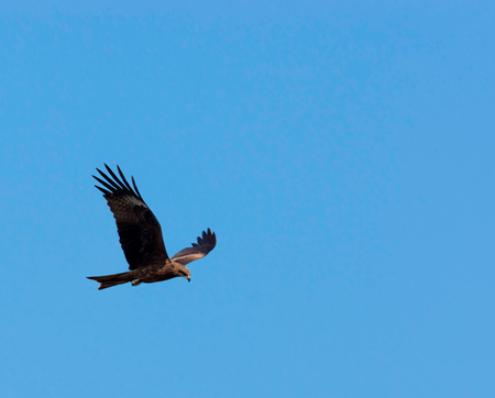 white headed: flight of an eagle in purely blue sky