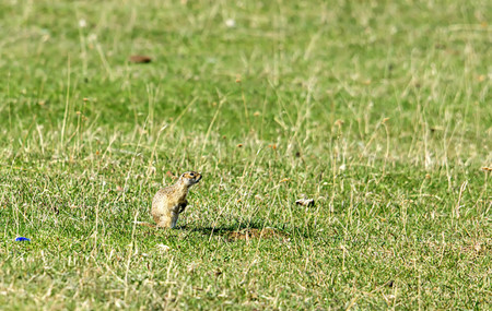 chordates: the gopher came for survey of the territory