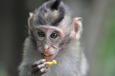 ubud: Monkey eating fruit in Bali Ubud forest  Stock Photo