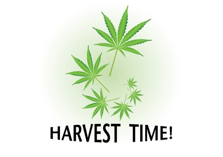 Harvest time cannabis leaf illustration Vector