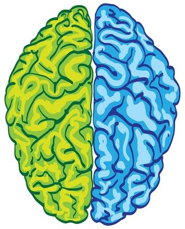 anatomy brain: colore cervello umano isolato - illustrazione