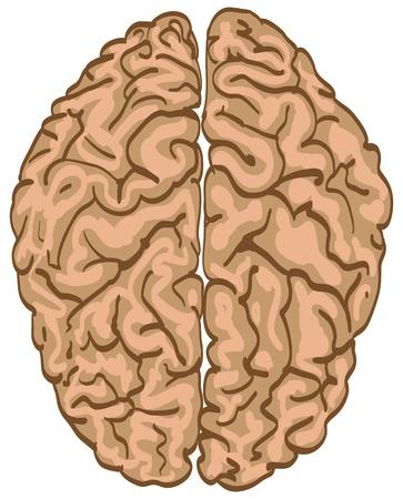 subconscious: human color brain isolated - illustration Illustration