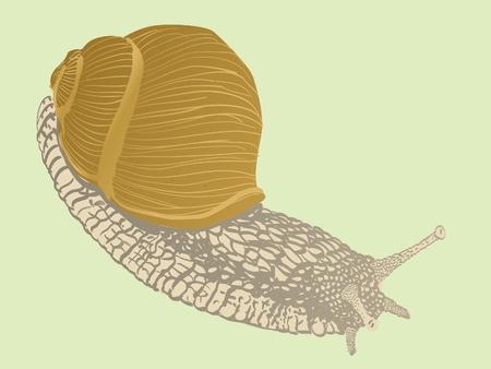 gastropod: isolated snail - illustration Illustration