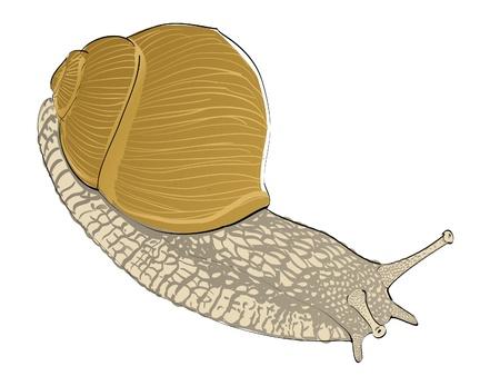 gastropod: isolated snail on white background - illustration Illustration