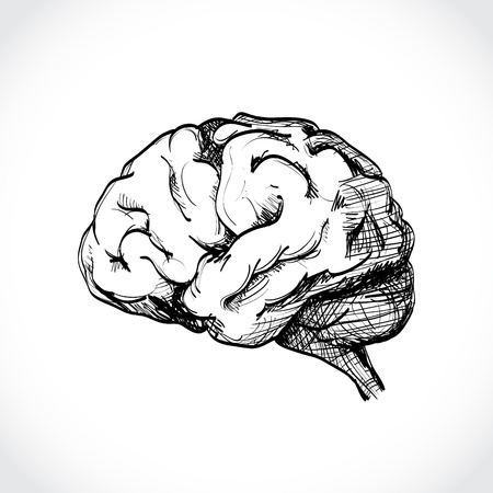 anatomy brain: Isolated human brain sketch - illustration