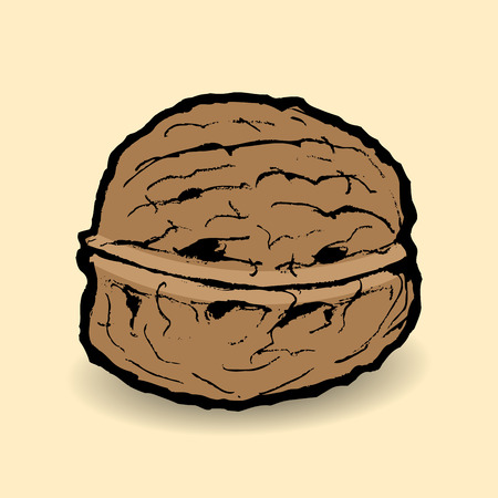 walnut: Walnut illustration, vector. Illustration
