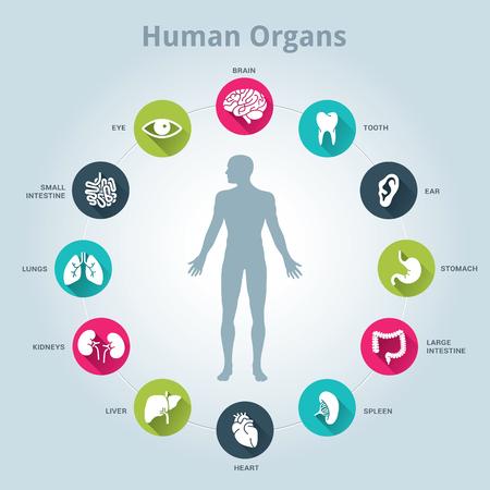 higado humano: Icono médico de órganos humanos establecido con el cuerpo en el medio