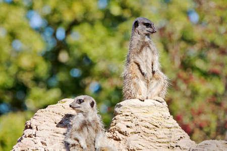 vigil: Meerkats keeping a vigil for possible danger