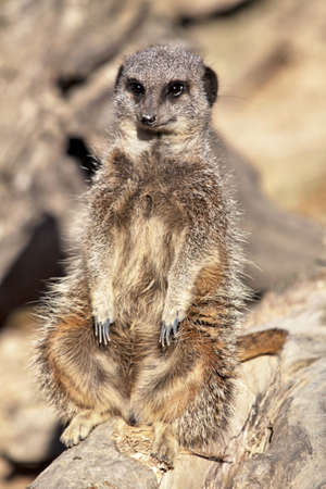 Meerkat at rest on a rock seat Stock Photo - 11037801