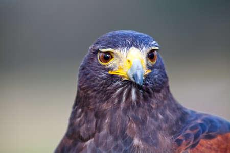 Harrier predator - head and upper body portrait Stock Photo - 11409866