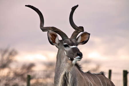 Large South African deer bathed in a setting autumn sunset Stock Photo