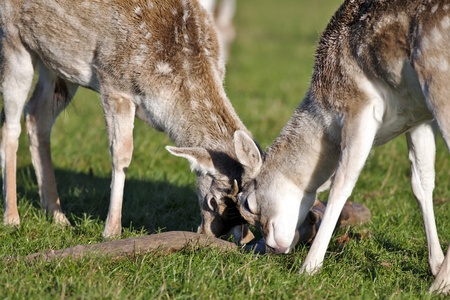 rutting: Two adolescent wild deer rutting over a fallen tree branch