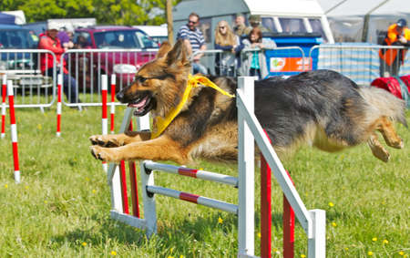 DENMEAD, UK - MAY 25: A German Shepherd dog gives an agility demonstration to the public at the Overlord SOE show on May 25, 2013 in Denmead