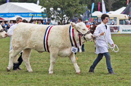 bullock animal: BROCKENHURST, UK - JULY 31  The Champion Charolais bull at the New Forest   Hampshire show is paraded around the show ring to great applause on July 31, 2013 in Brockenhurst Editorial