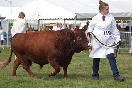showground: WEEDON, UK - AUGUST 29  A juvenile bullock is paraded around the show ring at the end of the show day for the finale  Champions Parade  at the Bucks County show on August 29, 2013 in Weedon