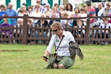 handler: BROCKENHURST, UK - JULY 31  The head bird handler pulls in her Peregrine Falcon at the end of a public display flight at the New Forest Show using a piece of meat on July 31, 2013 in Brockenhurst