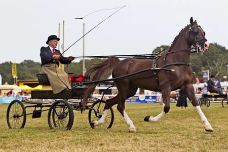 hackney carriage: BROCKENHURST, UK - JULY 31: A superbly handled Hackney carriage is displayed for the judges to mark & comment on during the Hackney competition at the New Forest show on July 31, 2014 in Brockenhurst Editorial