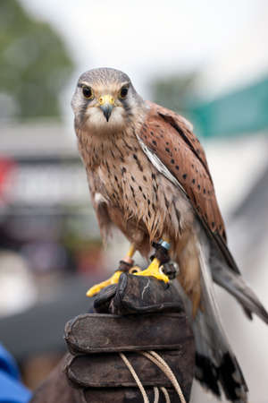 handlers: BROCKENHURST, UK - JULY 31: An adult male Kestrel bird of prey is exhibited by handlers for the public to view at the New Forest show on July 31, 2014 in Brockenhurst.
