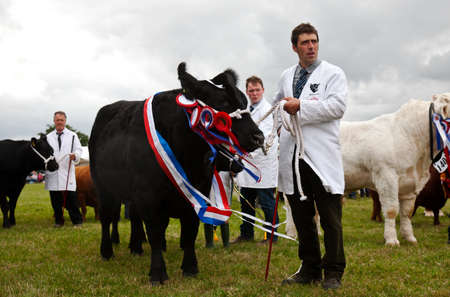 bullock: WEEDON, UK - AUGUST 28: The BCC champion bullock is shown around the arena for the public to see during the Grand Livestock parade at the Bucks County show on August 28, 2014 in Weedon