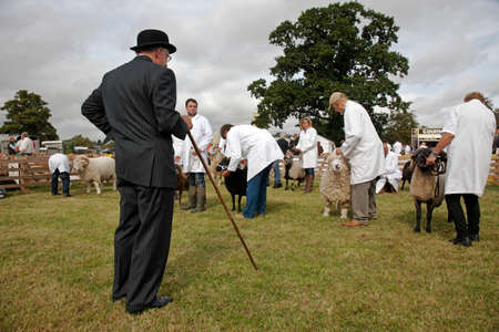 ovine: WEEDON, UK - AUGUST 28: Farmers line there sheep up to be judged for the category winner rosette in one of the small livestock pens at the BCC on August 28, 2014 in Weedon.