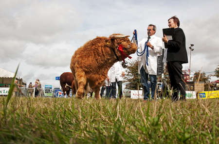 judged: WEEDON, UK - AUGUST 28: One of the bullocks entered in the livestock competition waits to be led around the arena to be judged at the Bucks County show on August 28, 2014 in Weedon