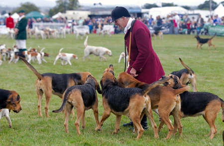hounds: WEEDON, UK - AUGUST 28: An unnamed member of a local hunting group shows his hounds off to the public before inviting them into the arena at the Bucks County show on August 28, 2014 in Weedon Editorial