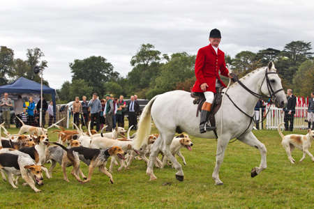 hounds: WEEDON, UK - AUGUST 28: Members of a local fox hunt parade the hounds and horses around the arena before inviting the public in to play with the dogs at the Bucks show on August 28, 2014 in Weedon Editorial