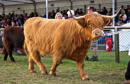 NEWBURY, UK - SEPTEMBER 21: A champion Highland cattle entrant to the Berks County show is paraded around the show arena during the grand cattle finale show on September 21, 2014 in Newbury
