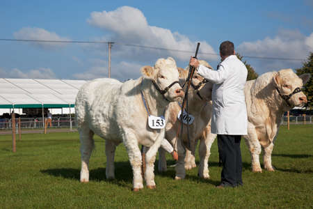 showground: NEWBURY, UK - SEPTEMBER 21: A livestock owner prepares his three heifers to enter the cattle show ring for judging at the Berks County show on September 21, 2014 in Newbury
