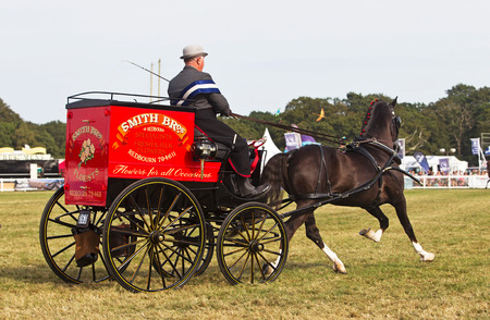 unnamed: BROCKENHURST, UK - JULY 31: An unnamed driver parades his award winning Hackney carriage and pony around the arena for the judges to comment on at the New Forest show on July 31, 2014 in Brockenhurst