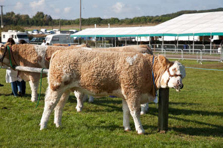 show ring: NEWBURY, UK - SEPTEMBER 21: Livestock waiting to be paraded before the judges relax by scratching against a post before entering the show ring at the Berks show on September 21, 2014 in Newbury