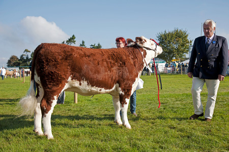 show ring: NEWBURY, UK - SEPTEMBER 21: Livestock is paraded in the show ring for the judges to make a decision as to who is best in class at the Berks show on September 21, 2014 in Newbury