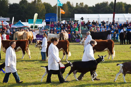 handlers: NEWBURY, UK - SEPTEMBER 21: The livestock present at the Berks County show is paraded for one last time in the grand arena for the public to see before the show closes on September 21, 2014 in Newbury