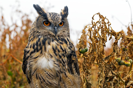 concentrates: MARCH, UK - SEPTEMBER 11: A juvenile Eagle owl concentrates on prey at the end of a lure as part of the birds training for future public flying displays on September 11, 2014 in March Editorial